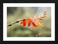 Orange Blooms with droplets Picture Frame print