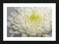 White mum flower with water droplets Picture Frame print