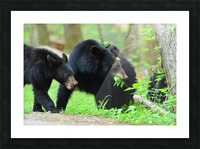 3540-Bear walk Picture Frame print
