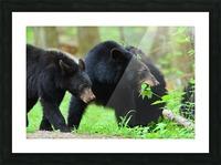 3541- Black bear Picture Frame print