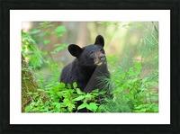3597-Black Bear Impression et Cadre photo