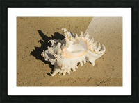 Murex Ramosun Rams Horn Shell Picture Frame print