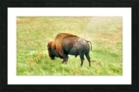 Lone Buffalo Custer State Park Picture Frame print