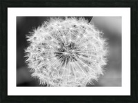 Dandylion black and White Picture Frame print
