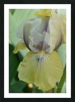 Yellow Iris Photograph Picture Frame print