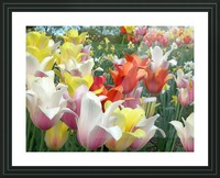 Beautiful Tulip Garden Photograph Picture Frame print
