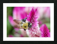 Bee On Pink Flower Photograph Picture Frame print