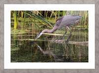 Great Blue Heron taking a Sip Picture Frame print