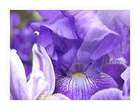 Blue Iris Photograph Picture Frame print