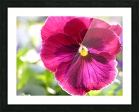 Pink Pansy Photograph Picture Frame print