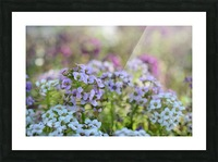 Small Purple Flowers Photograph Picture Frame print