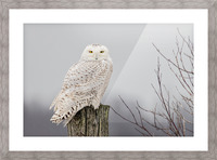 Snowy Owl on the Fence Picture Frame print