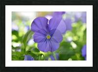 Blue Pansy Photograph Impression et Cadre photo