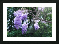 Wisteria Picture Frame print