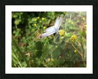 Butterfly on Clover Picture Frame print