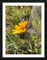 Butterfly on Arrowleaf  Picture Frame print