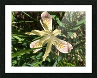 Siskiyou Iris Picture Frame print