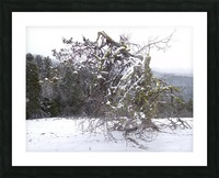 Ancient Mountain Juniper Picture Frame print