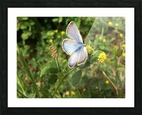 Blue Butterfly on Clover Picture Frame print