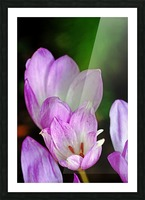 Fall Crocus Picture Frame print