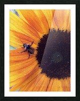 Bee on Sunflower Picture Frame print
