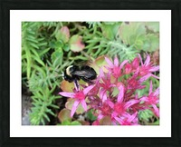 Bumblebee Visitor Picture Frame print