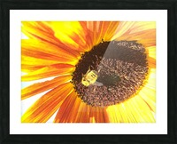 Bumblebee on Sunflower Picture Frame print