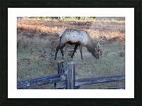 Bowing Elk Picture Frame print