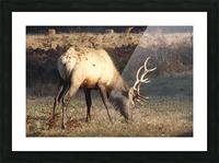Roosevelt Elk Picture Frame print