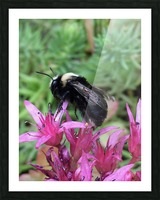 Black Bumble Bee Picture Frame print