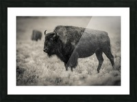 Bison of the Far West Picture Frame print