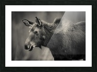 Young Moose Picture Frame print