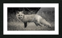Red Fox Picture Frame print