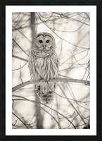 Spotted Owl - 1  Picture Frame print