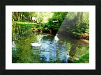 swan 11 Picture Frame print
