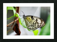 Resting Butterfly Picture Frame print