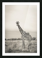 Majestic Giraffe by www.jadupontphoto.com Picture Frame print
