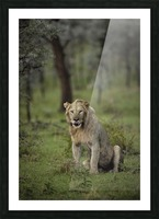 A Lions Tongue Picture Frame print