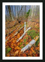 White Birch - APC-261 Picture Frame print