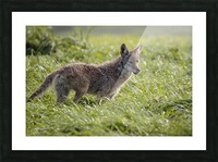 Coyote Pretty Picture Frame print