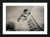 Girafe Calve Picture Frame print