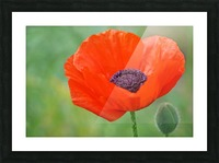 Poppy Red Picture Frame print