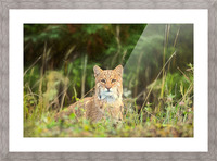 Bobcat Picture Frame print