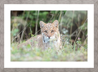Curious Bobcat Picture Frame print