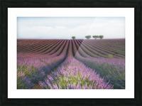 Velours de Lavender Picture Frame print