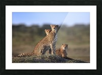Cheetahs Family Picture Frame print