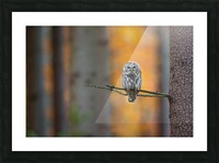 Tawny Owl Picture Frame print