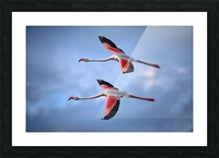 Greater Flamingos Picture Frame print