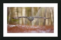 Great grey owl Picture Frame print