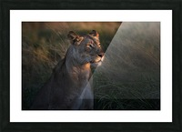 Lioness at firt day ligth Picture Frame print